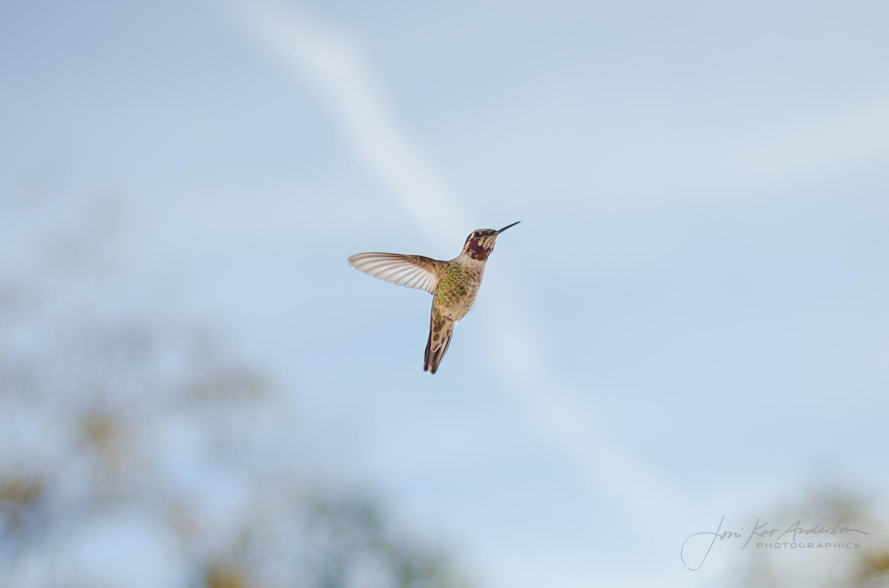 hummingbirds_dsc4217