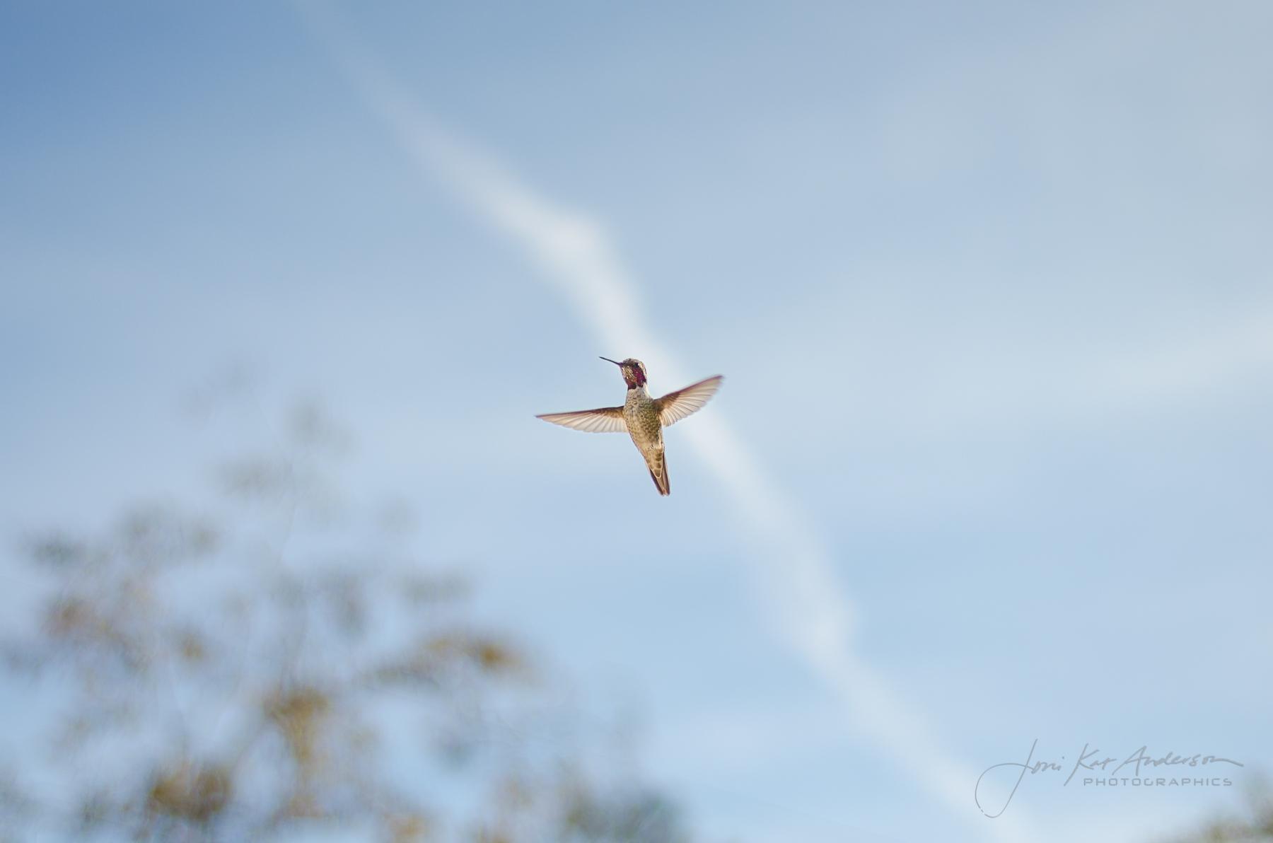hummingbirds_dsc4219