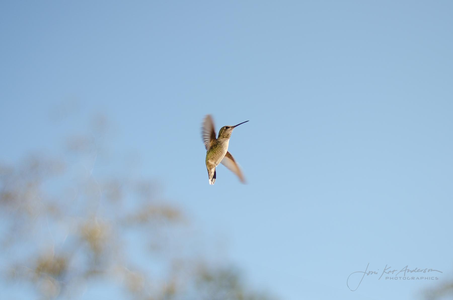 hummingbirds_dsc4254