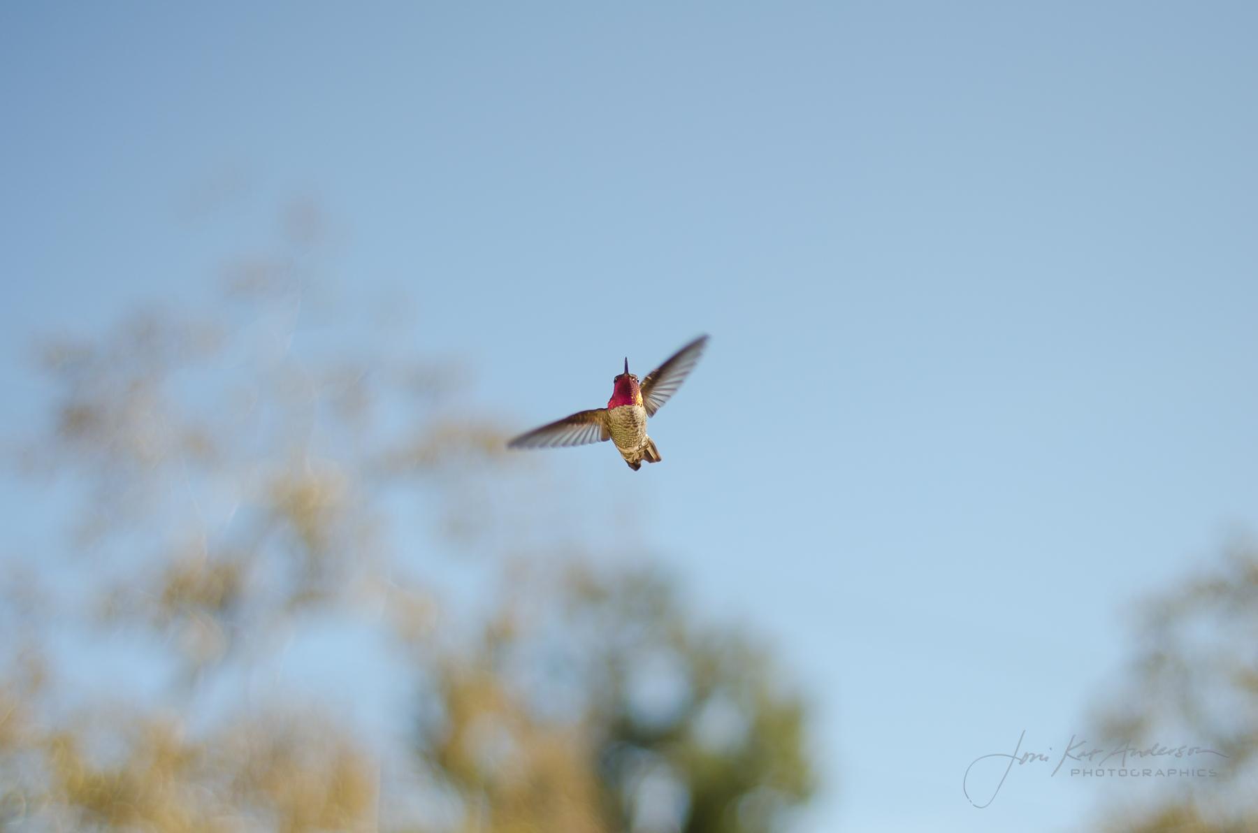 hummingbirds_dsc4261