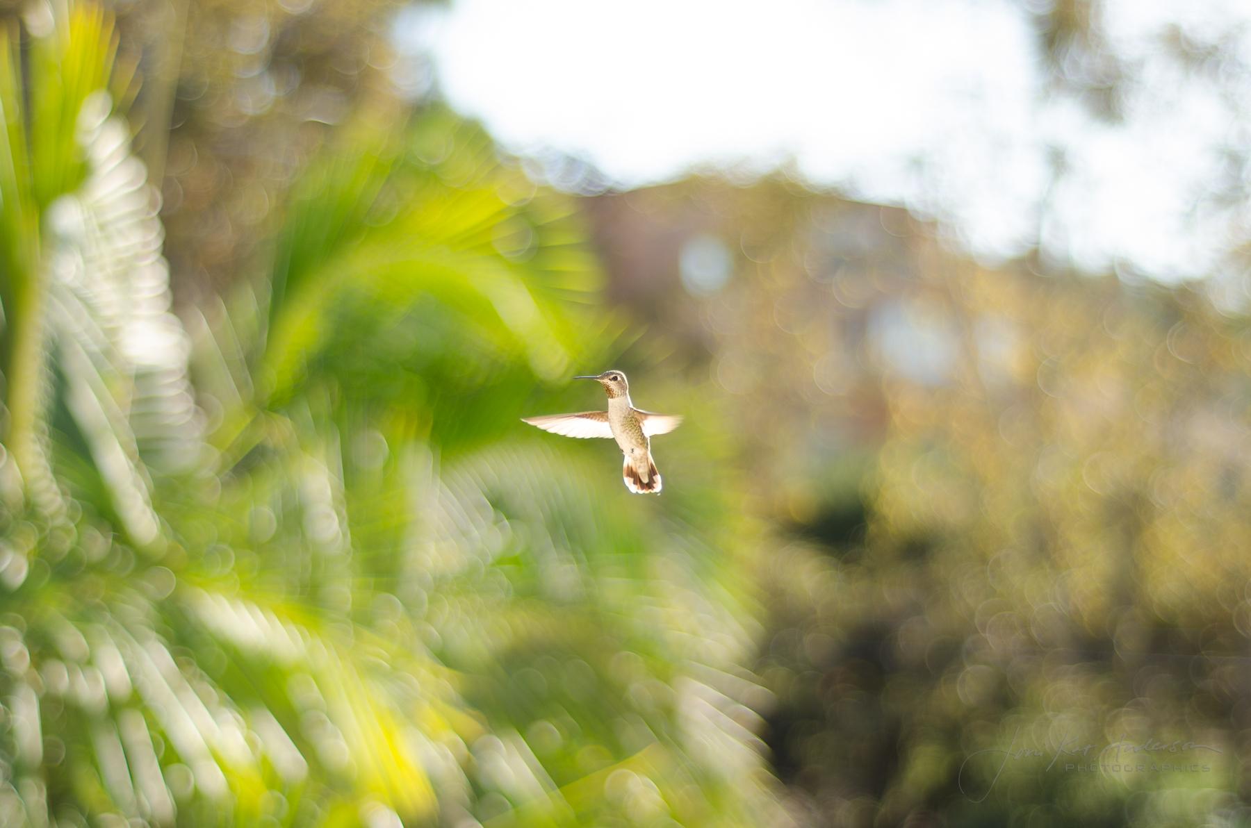 hummingbirds_dsc4320