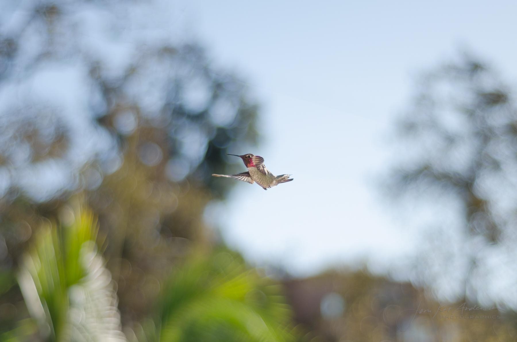 hummingbirds_dsc4332